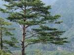 800px-Pinus_densiflora_Kumgangsan