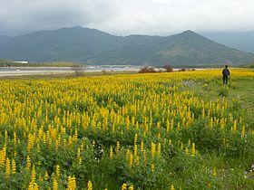 280px-Lupin_at_Kashiwabaru_Coast_Kagoshima_2012